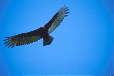 Turkey Vulture in flight over the Pantanal, Brazil